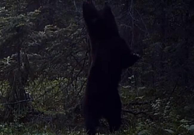 Танцующий на«Столбах» удерева медведь попал навидео