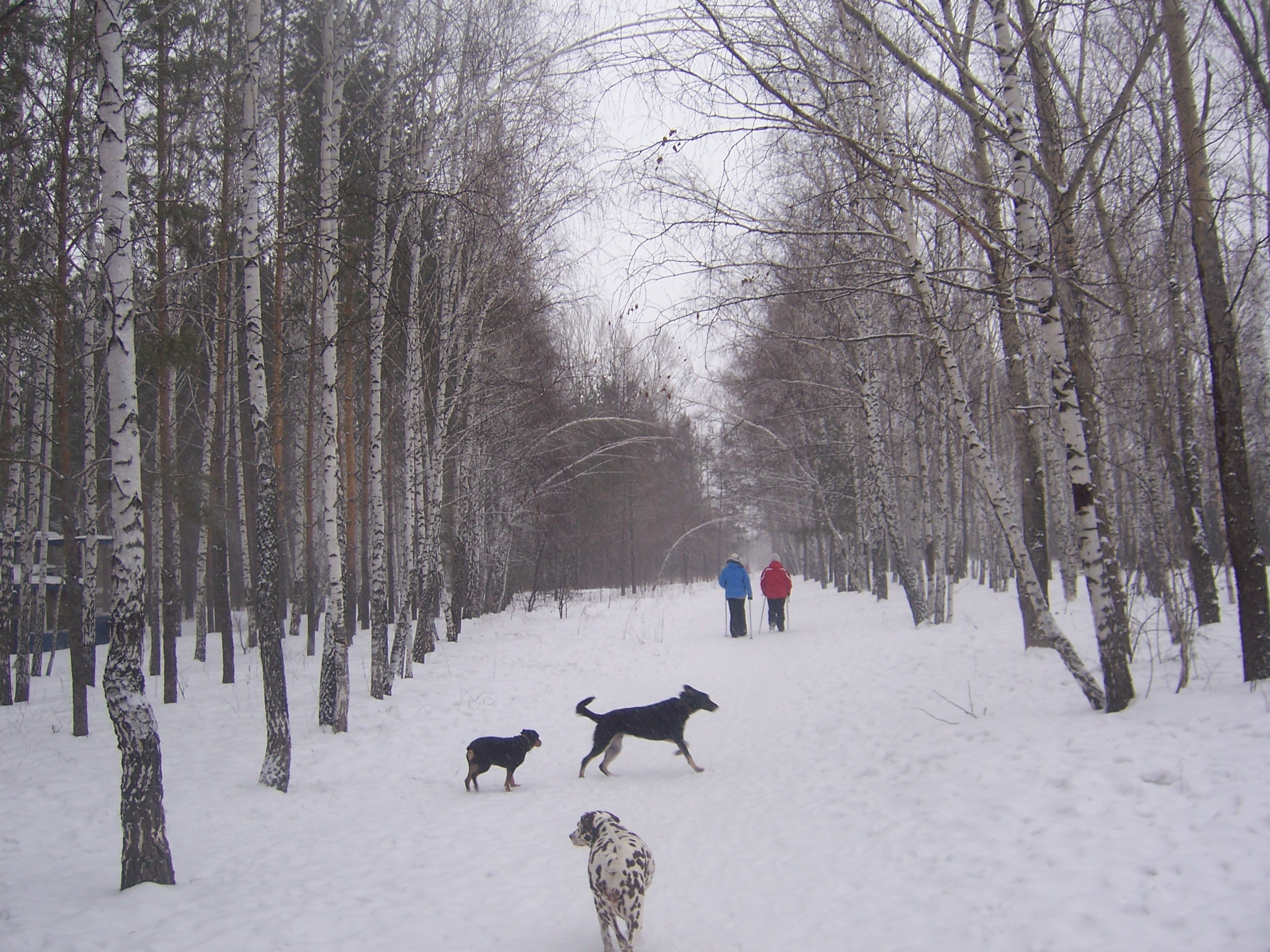 ВКрасноярске вкрещенские морозы готовятся кпосадке деревьев